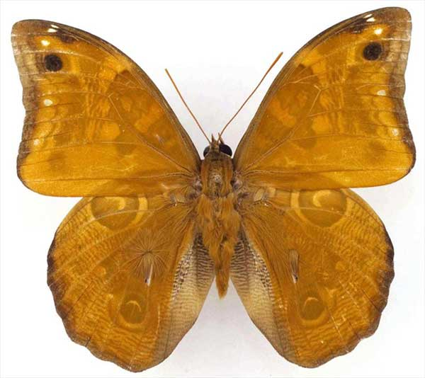 new species of owl butterfly (Opsiphanes)