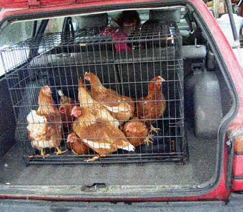 isa brown hens in the car